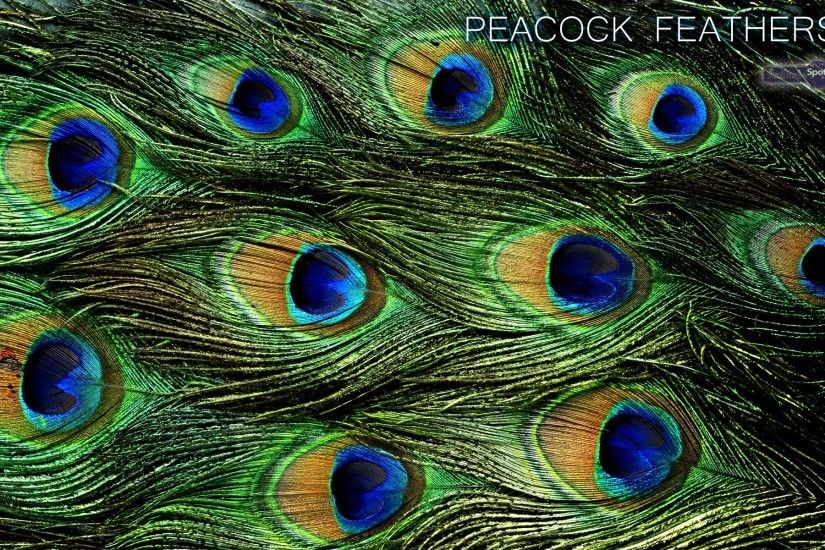 peacock-bird-feathers-wallpaper-1