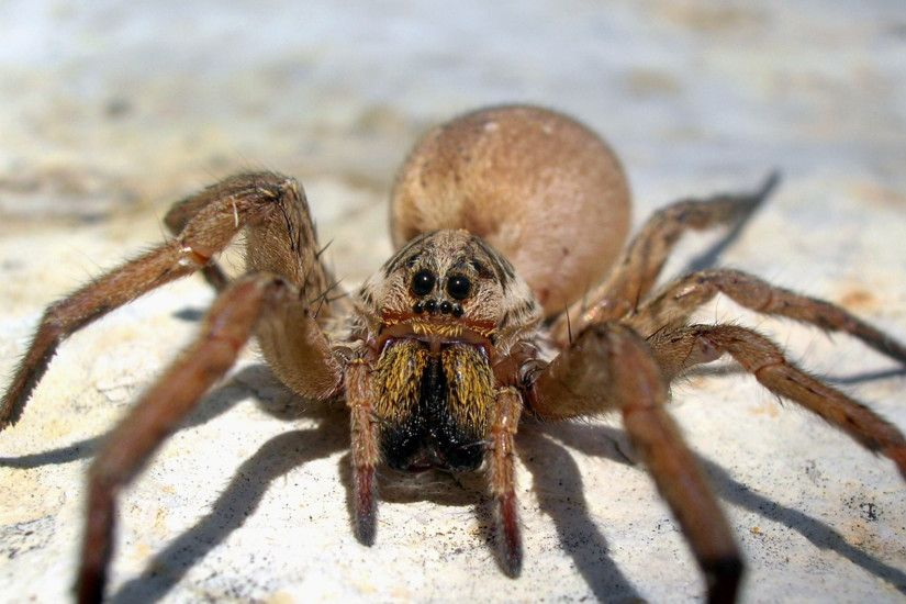 2560x1440 Wallpaper spider, big, brown, scary