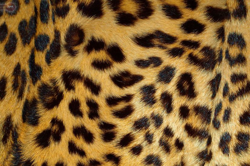 Best Leopard Wallpapers and Backgrounds. Leopard Wallpapers for Desktop