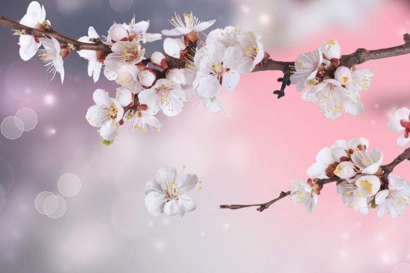 Cherry Blossoms Wallpaper Wallpapertag