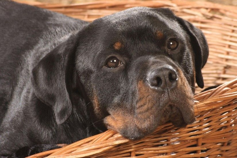 Cute Rottweiler Wallpaper 38272