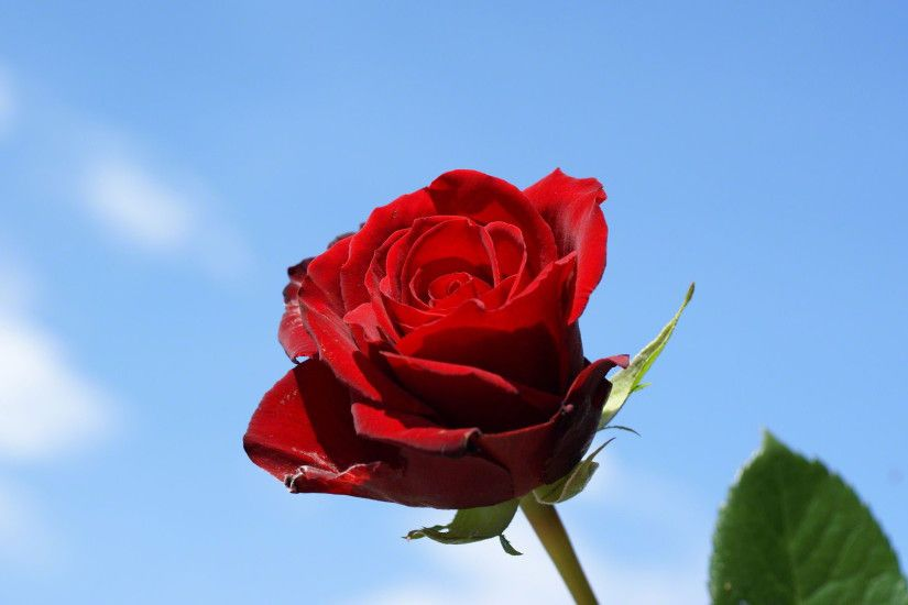 Red Rose in blue sky background