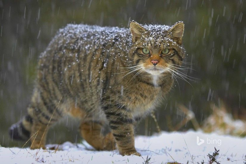 european wildcat cat snow nature scotland