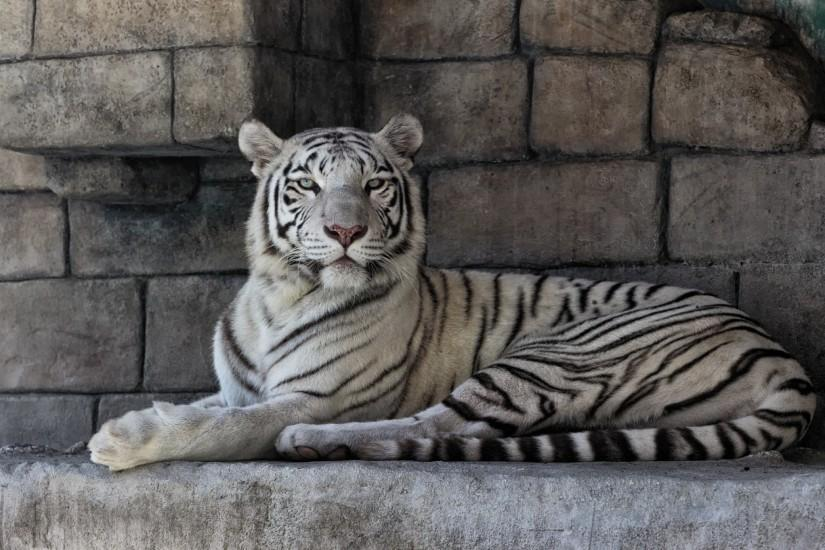 ... White Tiger Full HD ...