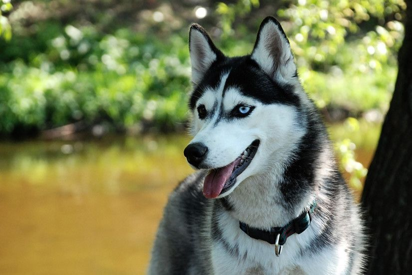 Siberian Husky Dogs Wallpaper 2356