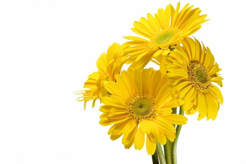 Download Gerbera Flower Yellow White background wallpaper