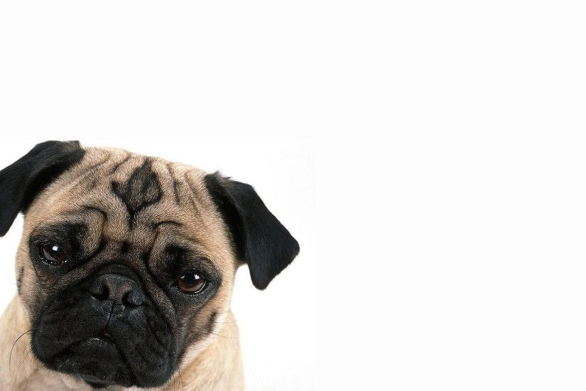 Pug in White Background
