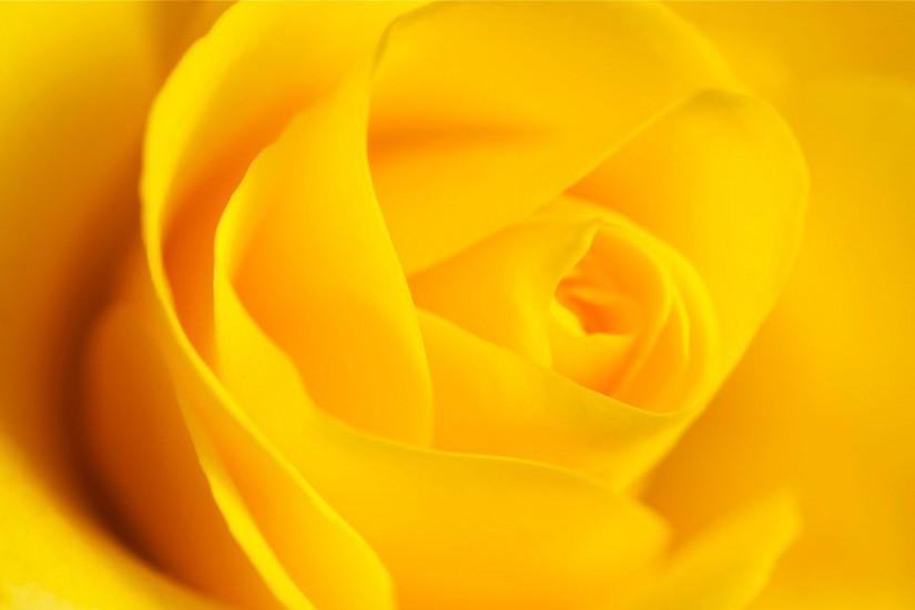 Rose flower, yellow background