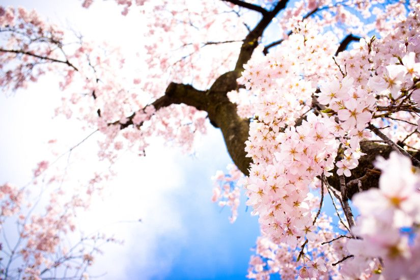 Cherry Blossom Wallpaper For Walls Free Cherry Blossom Wallpaper  Wallpapersafari Best Interior