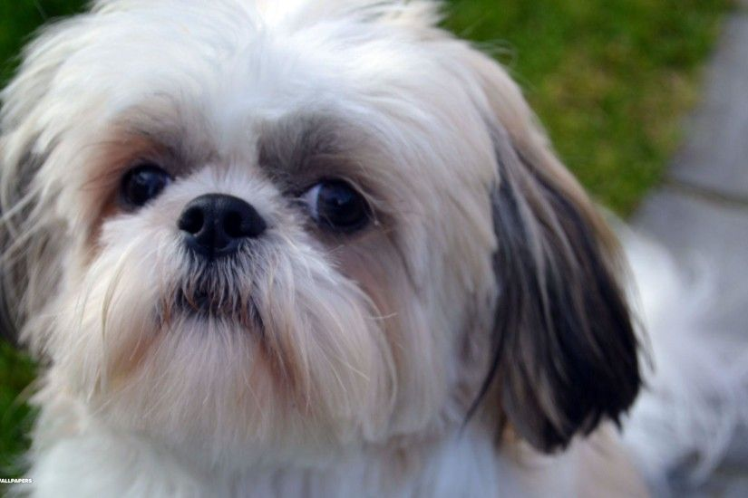 Shih Tzu Wallpapers - HD Wallpapers Inn