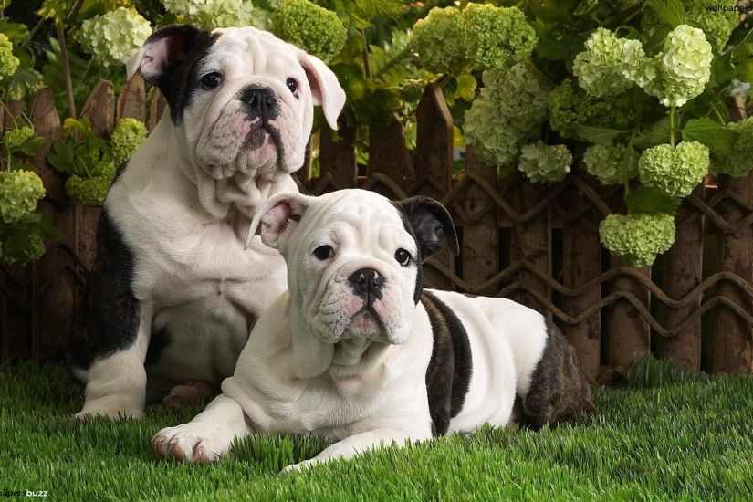 Puppies Wallpaper | HD Wallpapers | Pinterest | Bulldog wallpaper and  Wallpaper