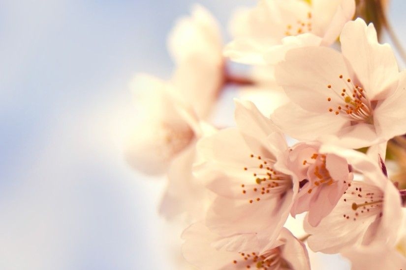 1920x1080 Cherry Blossom. How to set wallpaper on your desktop? Click the  download link from above and set the wallpaper on the desktop from your OS.