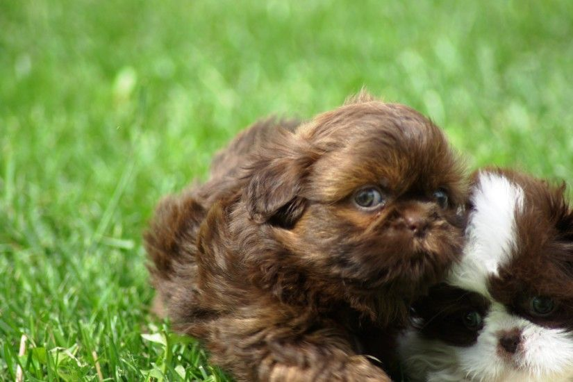 Brown puppy shih tzu wallpapers and images - wallpapers, pictures .