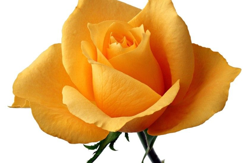 yellow rose wallpapers Free Wallpaper