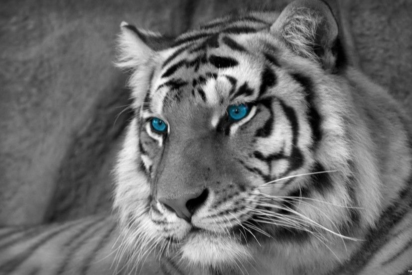 white tiger wallpaper hd - wallpapersafari