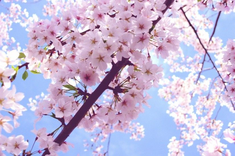 cherry blossom images background