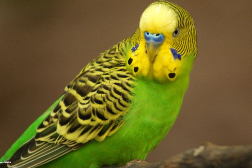 Budgies images Green Budgie HD wallpaper and background photos