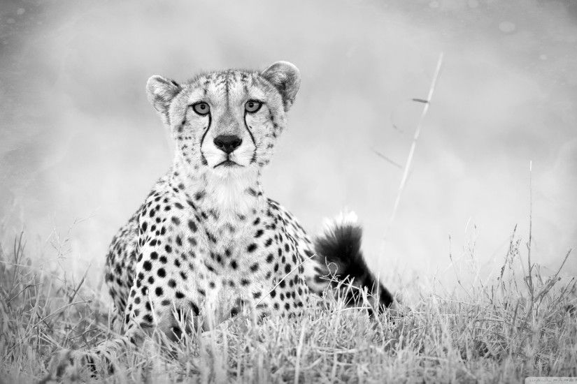 Black And White Cheetah Desktop Background. Download 2560x1440 ...