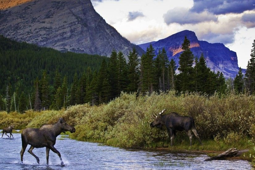 Moose in the mountain lake wallpaper