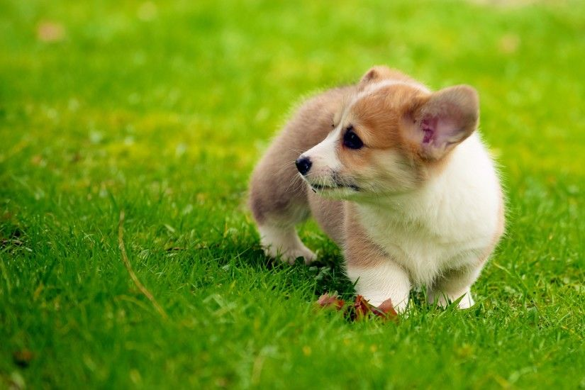 Cute Corgi Puppy Wallpaper