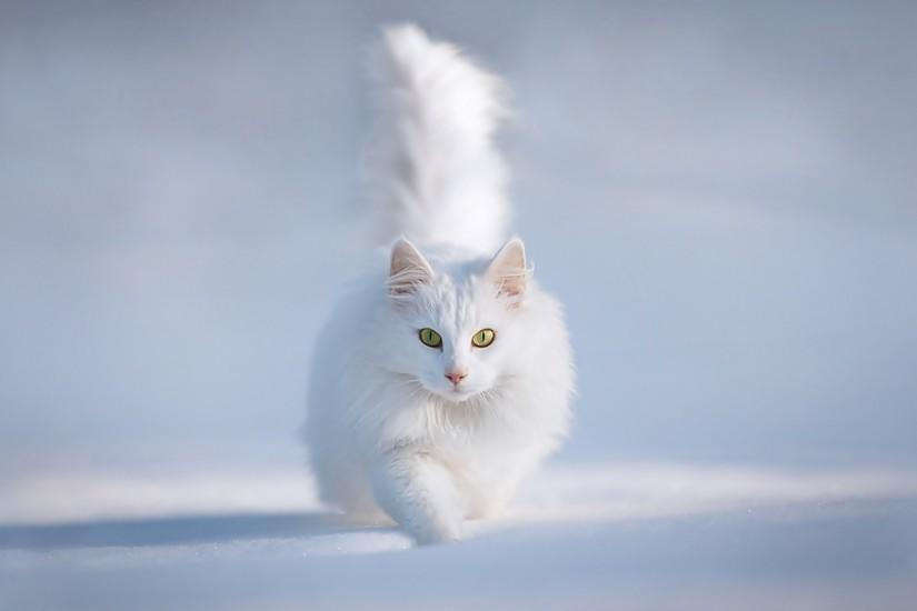 White Persian Cat In Snow Wallpaper and make this wallpaper for your .