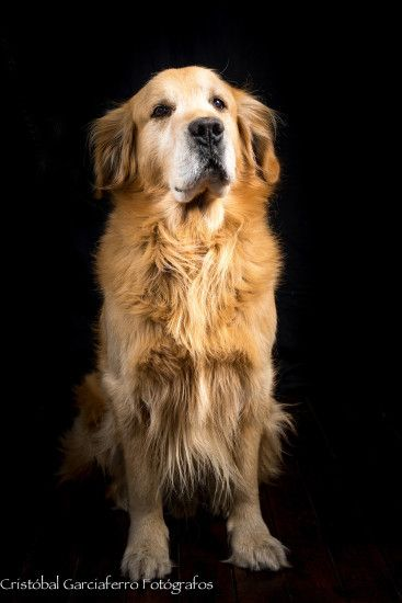 Great Golden Retriever | by Christobal Garciaferro