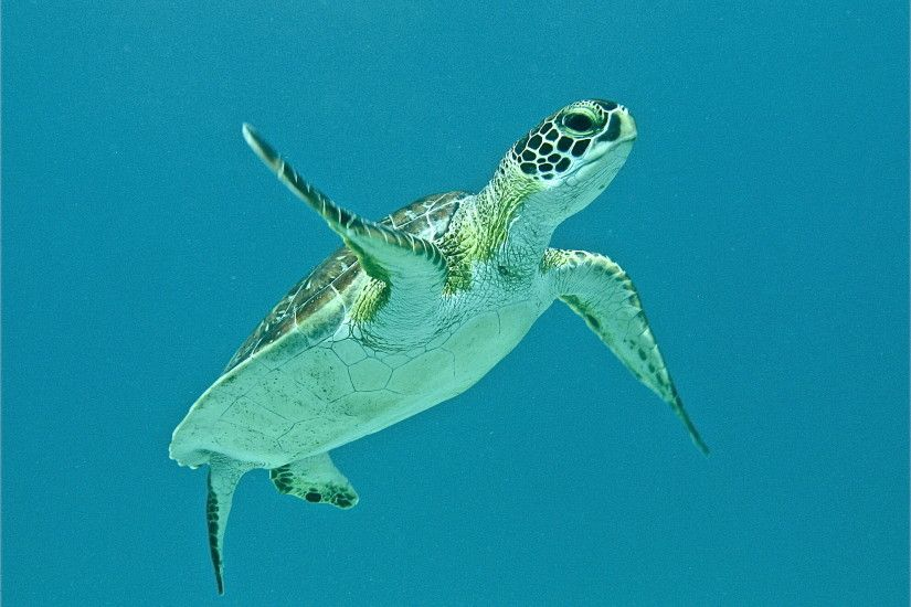 HD Young Sea Turtle Wallpaper | Download Free - 116177