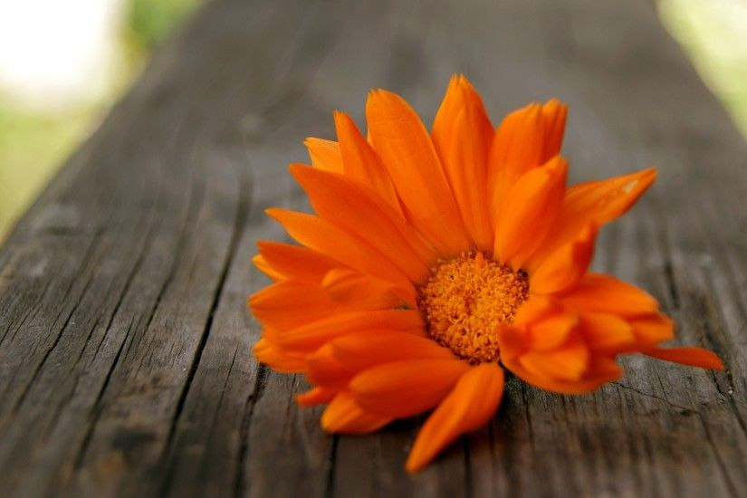 Beautiful Orange Flowers HD Wallpapers