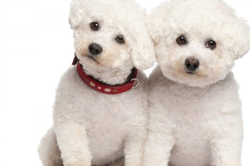Large Poodle Dog Wallpapers .