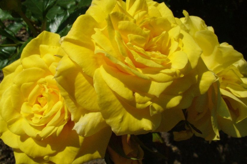 Yellow Rose Flowers