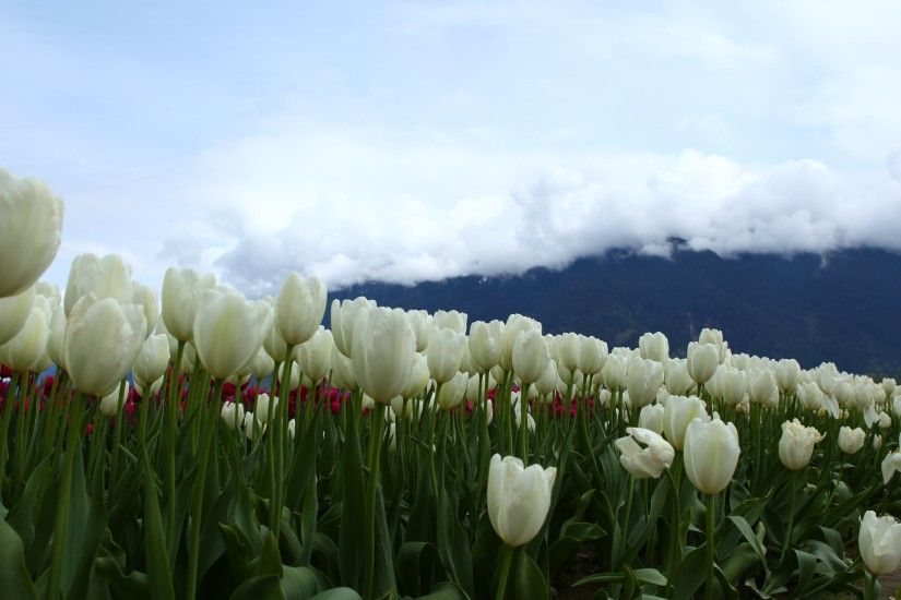 ... Wallpapers White Tulips Images ...