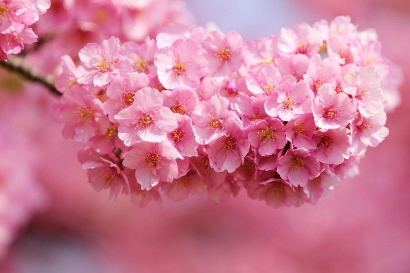 Pink Blossoms Flowers Spring Beautiful Flower Wallpaper Desktop Full Size