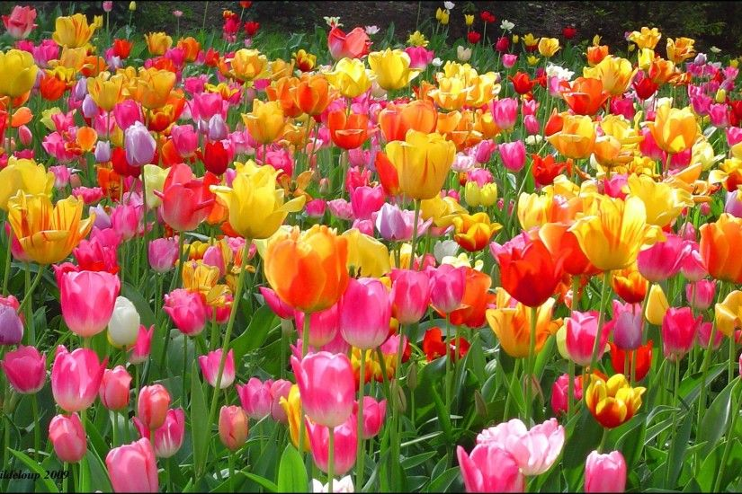 Tulip Wallpaper Backgrounds | Best Free Wallpaper