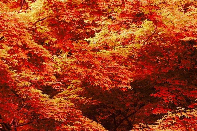 Maple Trees In Autumn 548811
