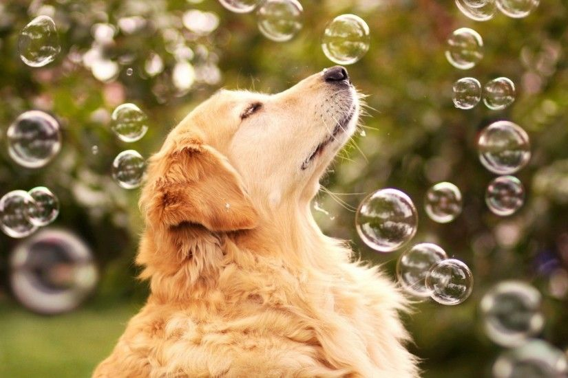 Animal - Golden Retriever Wallpaper