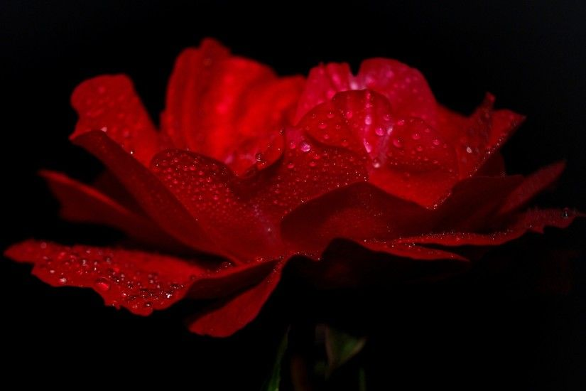 1774 Rose Hd Wallpapers Backgrounds Wallpaper Abyss