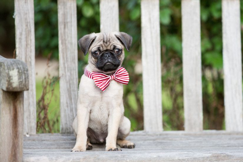 My Pugs – Lovely Puppy & Dog HD Wallpapers