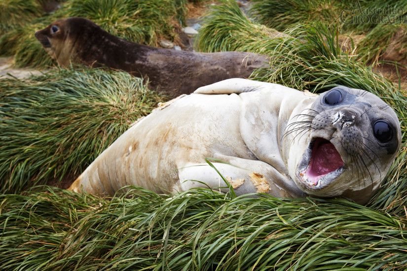 Wallpapers. Images of Australia: Baby southern elephant seal, Macquarie  Island