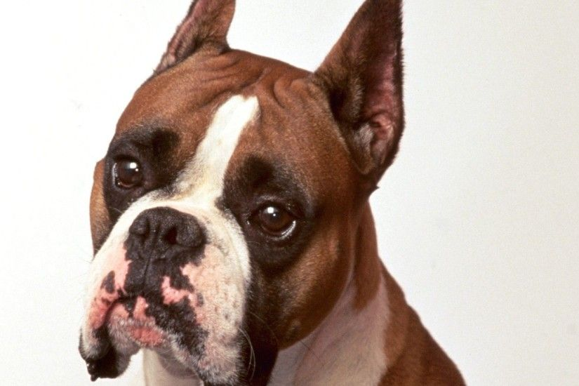 Backgrounds For Boxer Puppy Transparent Background | www .