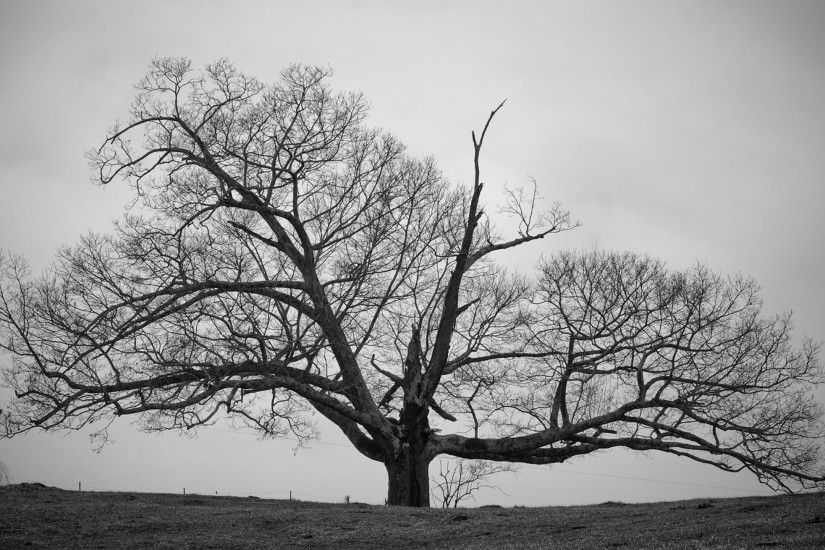 Old Tree Black and White Wallpapers HD.