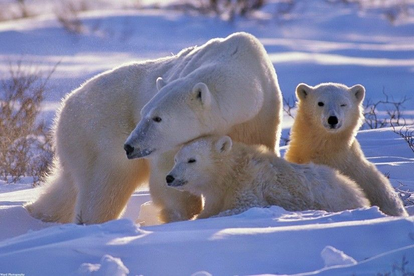 polar bear bear family