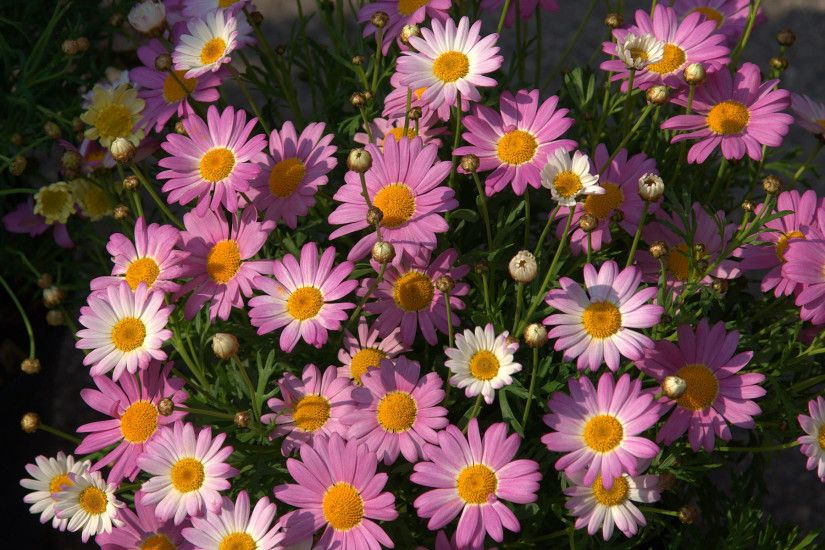 Pink daisies Wallpaper