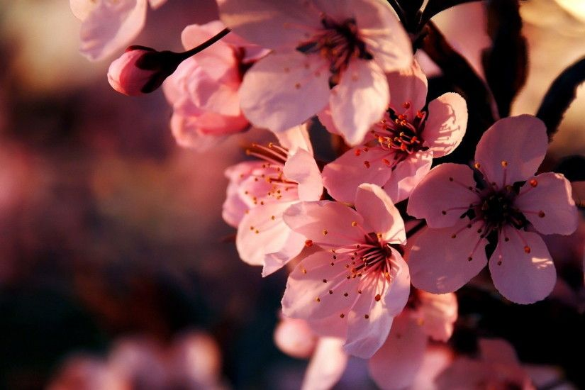 desktop hd flower backgrounds · Pink BlossomCherry ...