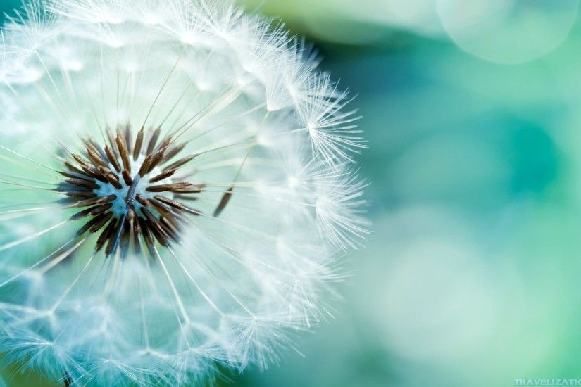 1920x1080 Blowing Dandelion Wallpaper
