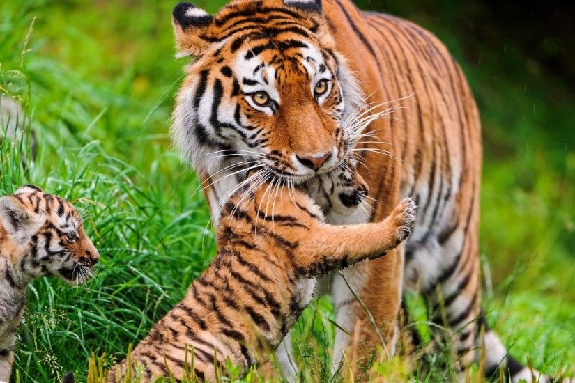 Tigers Tag - Tiger Tigers Mother And Baby Animals Pics for HD 16:9 High
