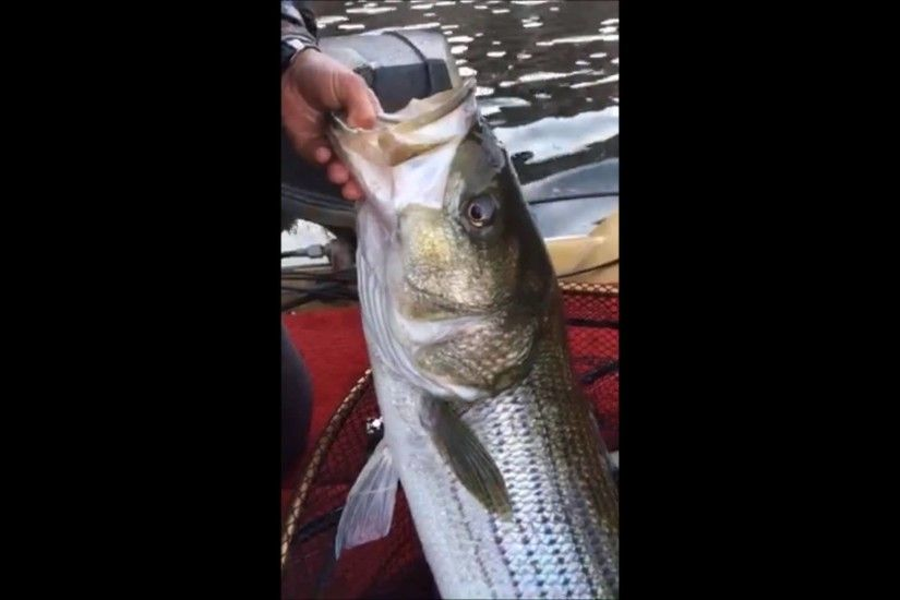WIllow Beach Striper: Trophy Hunting