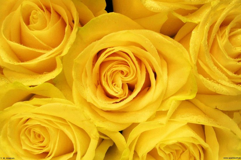 yellow rose wallpaper HD Wallpaper
