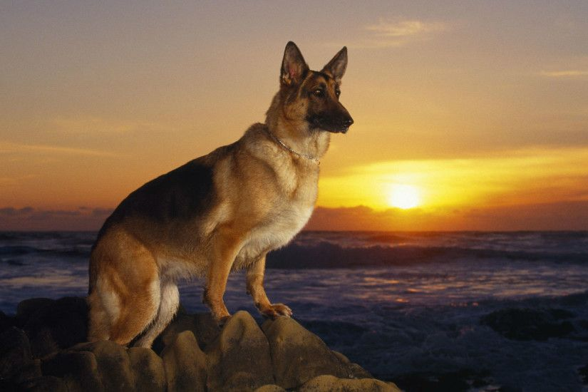 German Shepherd Wallpapers HD