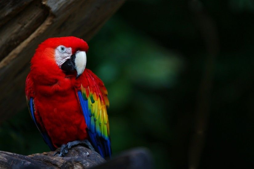 Flying Macaw Parrot Wallpaper