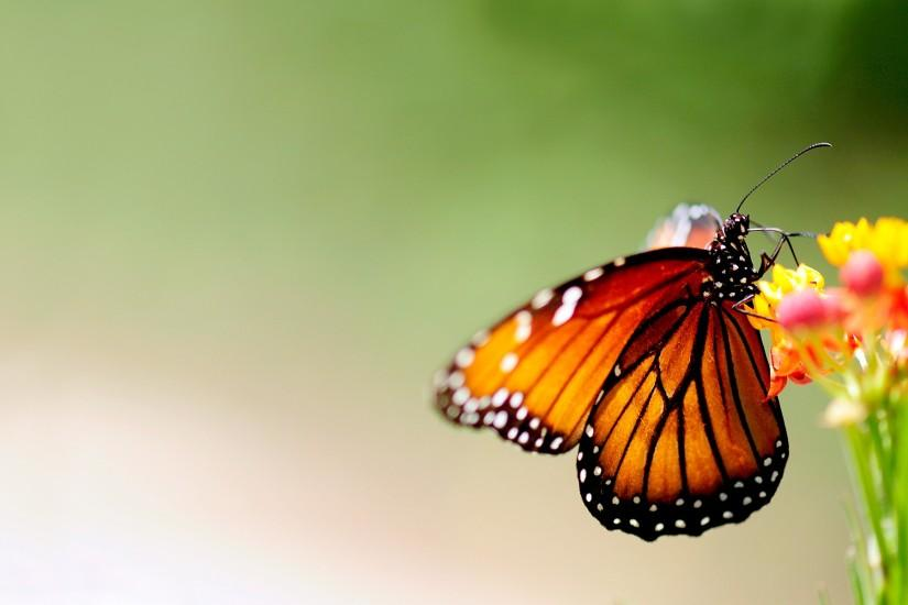 Beautiful Butterfly Wallpapers HD Pictures | One HD Wallpaper Pictures .